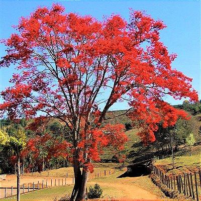 Árvore Coral Brasileira ou Corticeira-da-Serra - Erythrina Falcata