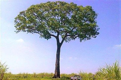 Jequitibá Rosa - A Maior Árvore do Brasil