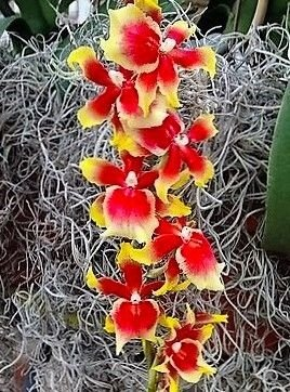 Orquídea Havaiana Pauls Pride