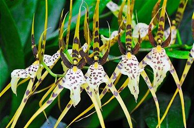 Orquídea Brassia Rex - Adulta