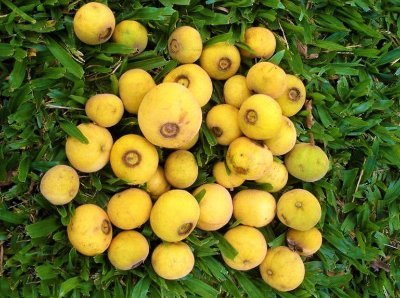 Sete-Capotes - Campomanesia guazumifolia