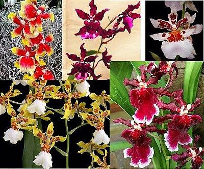 Kit LEVE 4  Orquídeas Havaianas Cores Sortidas