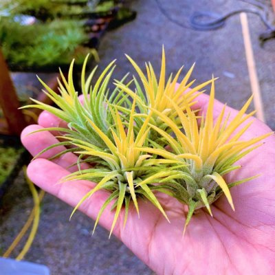 Tillandsia Ionantha Var. Druid - Air Plants - RARIDADE!!
