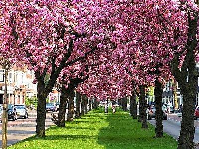 Cerejeira Japonesa Sakura Yukiwari Ornamental de Flores Rosas