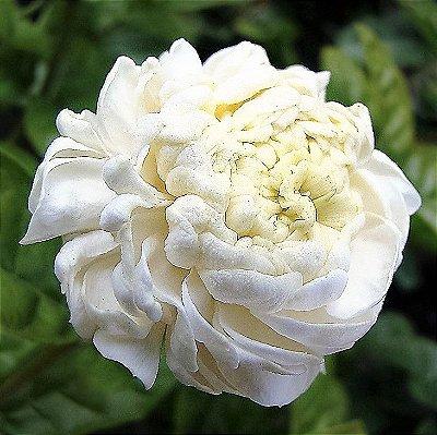 Jasmim Árabe ou Bugarí de Flores Brancas Duplas
