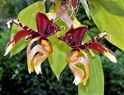 Orquídea Stanhopea Tigrina