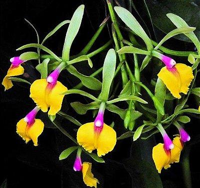 Orquídea Epicattleya Rene Marques