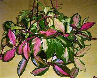Hoya carnosa Variegata - Flor de cera