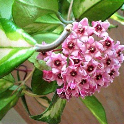 Hoya carnosa tricolor - Flor de cera