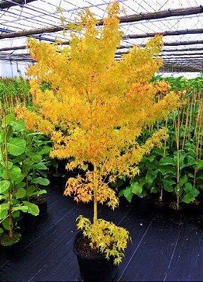 Acer Palmatum Outonal Amarelo