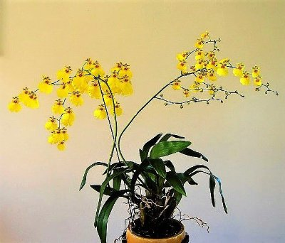Orquídea Oncidium Flexuosum  - Adulta