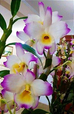 Orquídea Dendrobium Nobile Gigante