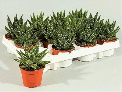 Planta Pérola - Suculenta
