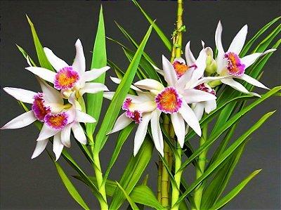 Orquídea Thunia Brymeriana