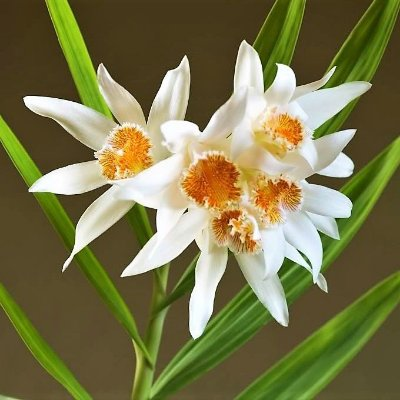 Orquídea Thunia Marshalliana