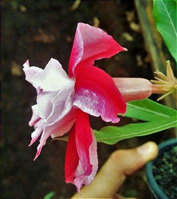 Rosa do Deserto Bicolor Dupla c/ Pétalas Frontais Brancas e  Pétalas Posteriores Vermelhas - Muda Enxertada