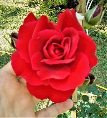 Rosa SEM ESPINHOS Vermelho Veludo Enxertada - Muda