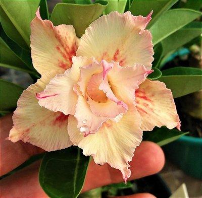 Rosa do Deserto TS-2 Flor Dobrada Enxertada