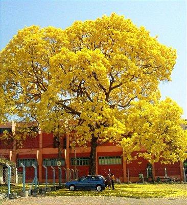 Ipê Amarelo Dourado - Atrativo de Pássaros, especialmente o Beija-Flor