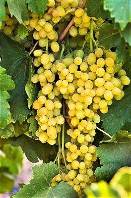Uva Muscat ou Moscato p/ Vinhos e Mesa - Muda Enxertada