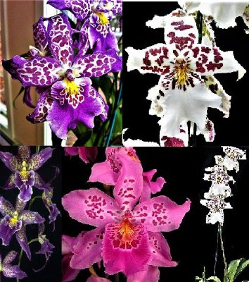 Kit 3 Tipos de Orquídeas Hibridas Beallara - Mudas