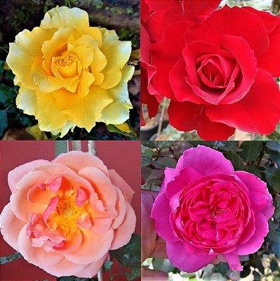 Kit 4 Rosas Trepadeiras Botões Grandes - Amarela - Vermelha Veludo - Coral - Eden Pink