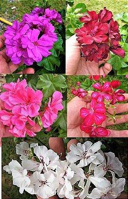 Kit 5 Gerânios Pendentes - Lilas - Príncipe Negro - Rosa - Mesclado - Branco