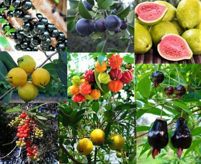 Kit c/ 10 Tipos de Mudas Frutíferas - Grumixama - Goiaba - Tucaneira - Inga - Guabiju -Jabuticaba - Uvaia - Araçá - Pitanga e Cereja