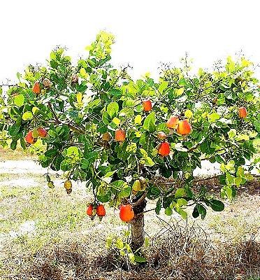 Caju Anão Precoce de Frutas GRANDES - Produz em Vaso