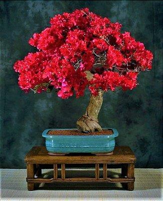 Bonsai de Primavera Flores Vermelhas