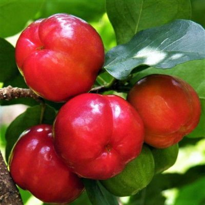 ACEROLA ENXERTADA JUNCO - Frutas Graúdas, Ricas em Vitamina C, e Muita Polpa, p/ Vasos