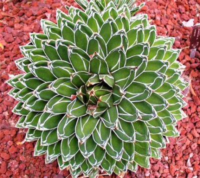 Agave Vitória Régia