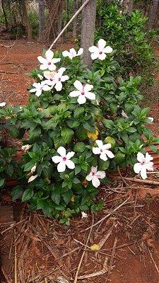 Hibisco Havaiano Branco de Centro Vermelho