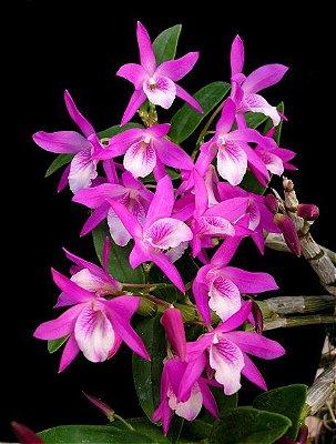 Orquídea Dendrobium Stardust Roxa