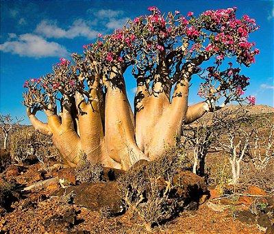 Rosa do Deserto - Mudas de Flor DOBRADA