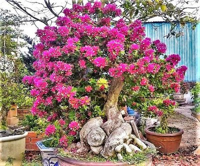 Primavera Maravilha