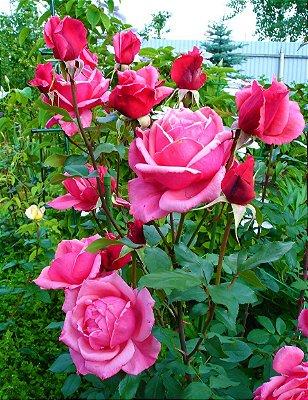 Rosa 'Bel Ange' enxertada - De cor rosa intenso e flores grandes
