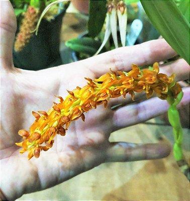 Orquidea Bulbophyllum Careyanum - Planta Adulta