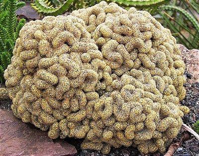 Cactos Cérebro ou Brain Cactus