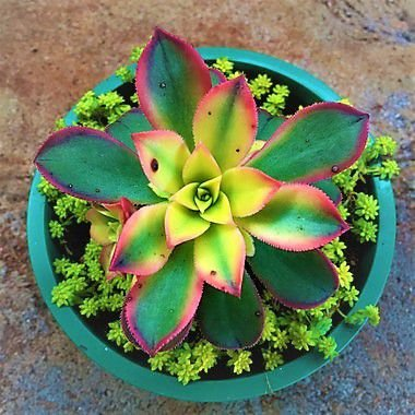 Aeonium Kiwi Tricolor - Belíssima Suculenta