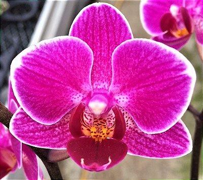 Orquidea Phalaenopsis Pink Muda