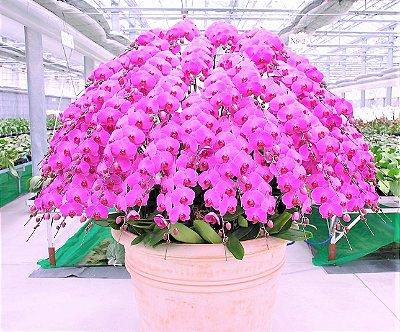 Orquídea Phalaenopsis Rosa Claro - Muda