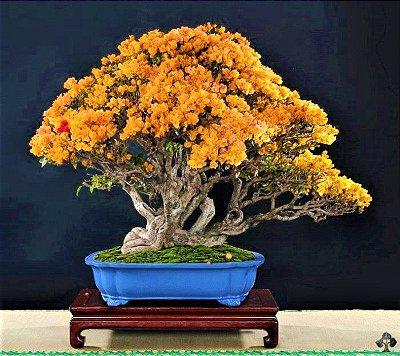 Bonsai Primavera Amarela - Raridade
