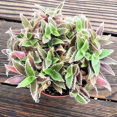 Cyanotis somaliensis - Suculenta