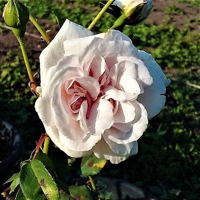 Rosa Trepadeira de Cem Pétalas cor Branca ou Trepadeira Centifolia Branca