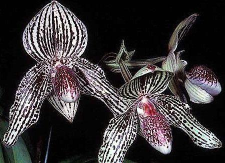 Orquidea Sapatinho Hibrida Paphiopedilum Wilbur Chang x Bellatulum