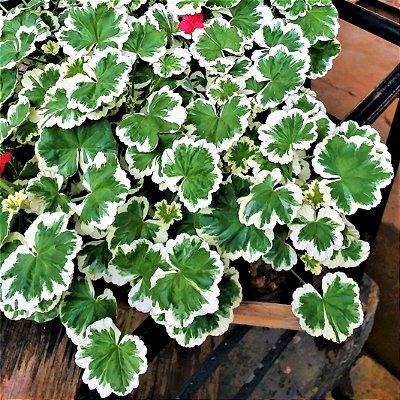 Gerânio Variegata Arbustivo de Flores Vermelhas