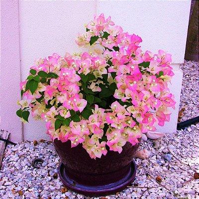 Bonsai de Primavera Bicolor