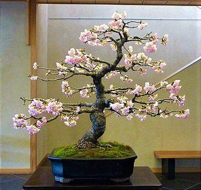 Cerejeira Mini-Sakura de Flores Brancas Dobradas Bonsai