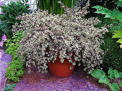 Portulacaria Afra Tricolor - Suculenta